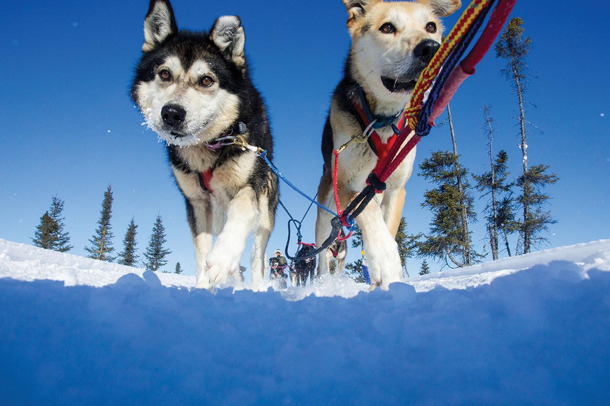 Sled Dog Central: Beginner Hands On Opportunities